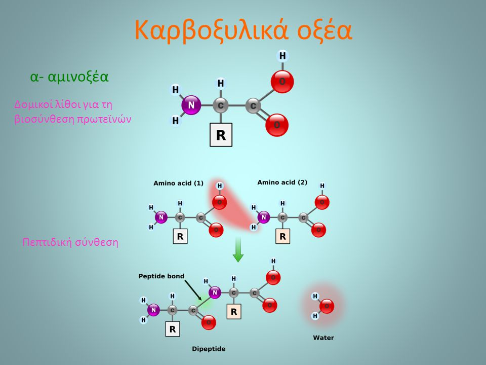Καρβοξυλικά οξέα α- αμινοξέα Δομικοί λίθοι για τη βιοσύνθεση πρωτεϊνών