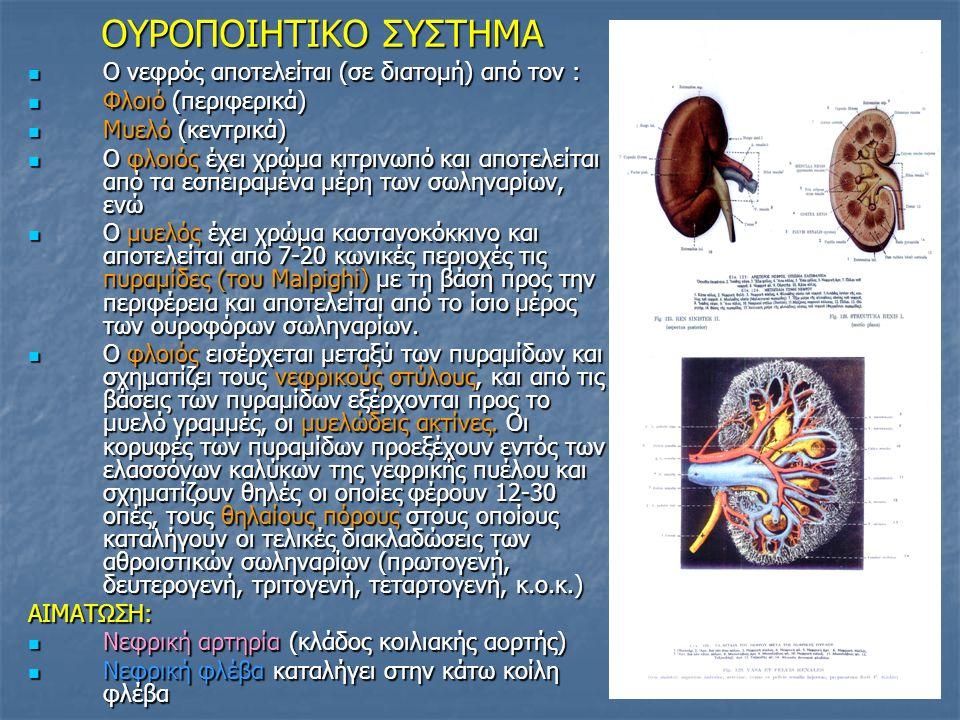 OYΡΟΠΟΙΗΤΙΚΟ ΣΥΣΤΗΜΑ O νεφρός αποτελείται (σε διατομή) από τον :
