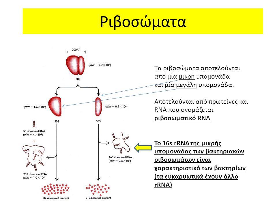 Ριβοσώματα Τα ριβοσώματα αποτελούνται από μία μικρή υπομονάδα