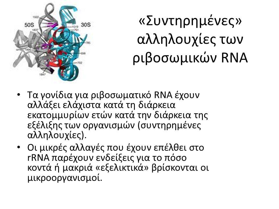 «Συντηρημένες» αλληλουχίες των ριβοσωμικών RNA