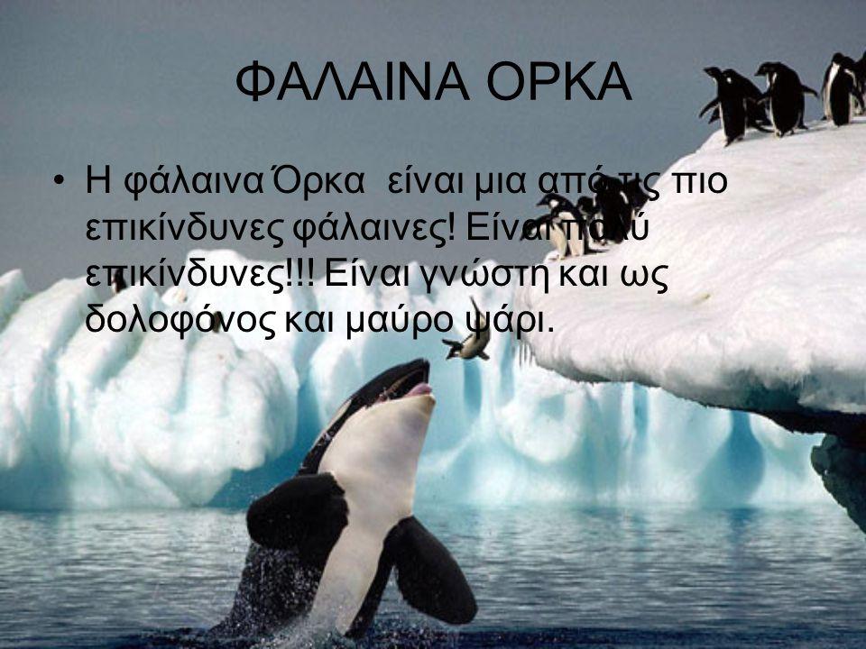 ΦΑΛΑΙΝΑ ΟΡΚΑ Η φάλαινα Όρκα είναι μια από τις πιο επικίνδυνες φάλαινες.