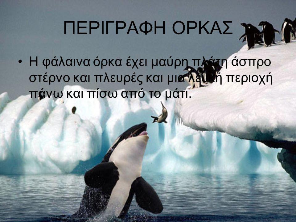 ΠΕΡΙΓΡΑΦΗ ΟΡΚΑΣ Η φάλαινα όρκα έχει μαύρη πλάτη άσπρο στέρνο και πλευρές και μια λευκή περιοχή πάνω και πίσω από το μάτι.