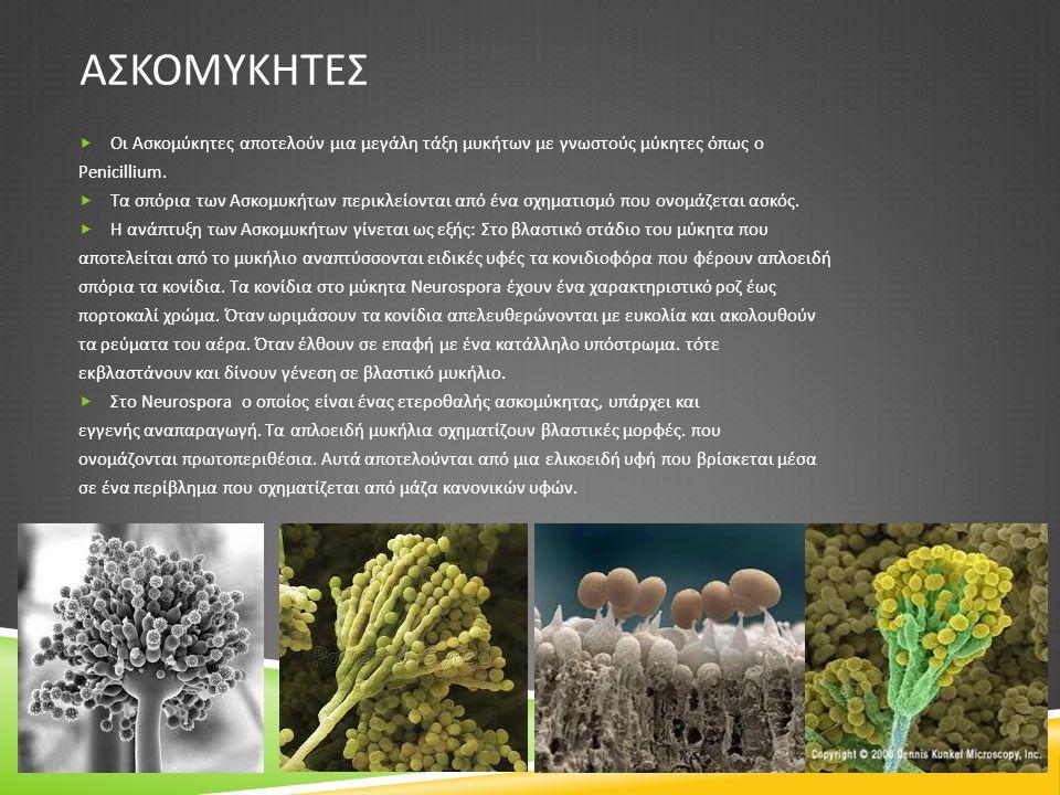 ΑΣΚΟΜΥΚΗΤΕΣ Οι Ασκομύκητες αποτελούν μια μεγάλη τάξη μυκήτων με γνωστούς μύκητες όπως ο. Penicillium.