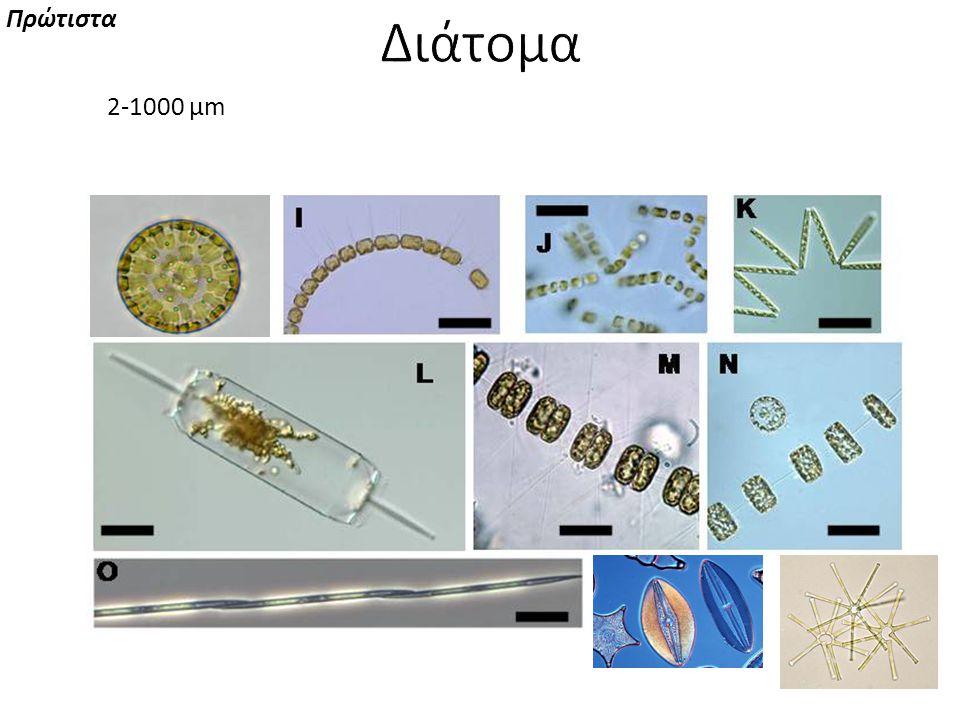 μονήρη κύτταρα, αποικίες ή αλυσίδες