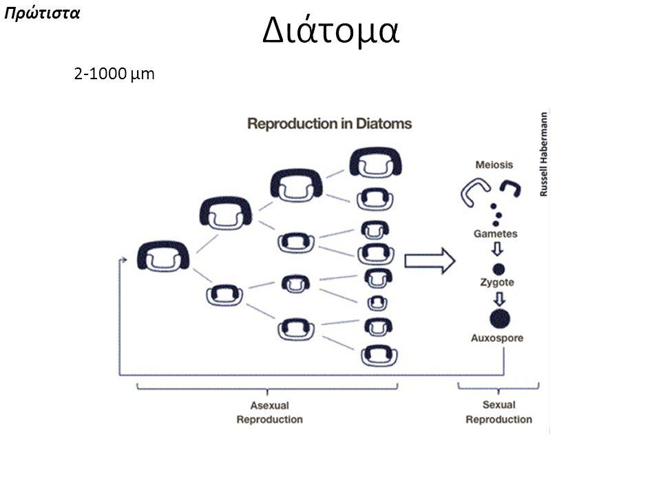 Πρώτιστα Διάτομα 2-1000 μm