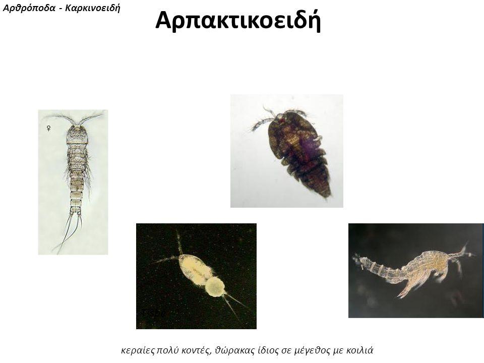 Αρπακτικοειδή Tisbe Αρθρόποδα - Καρκινοειδή