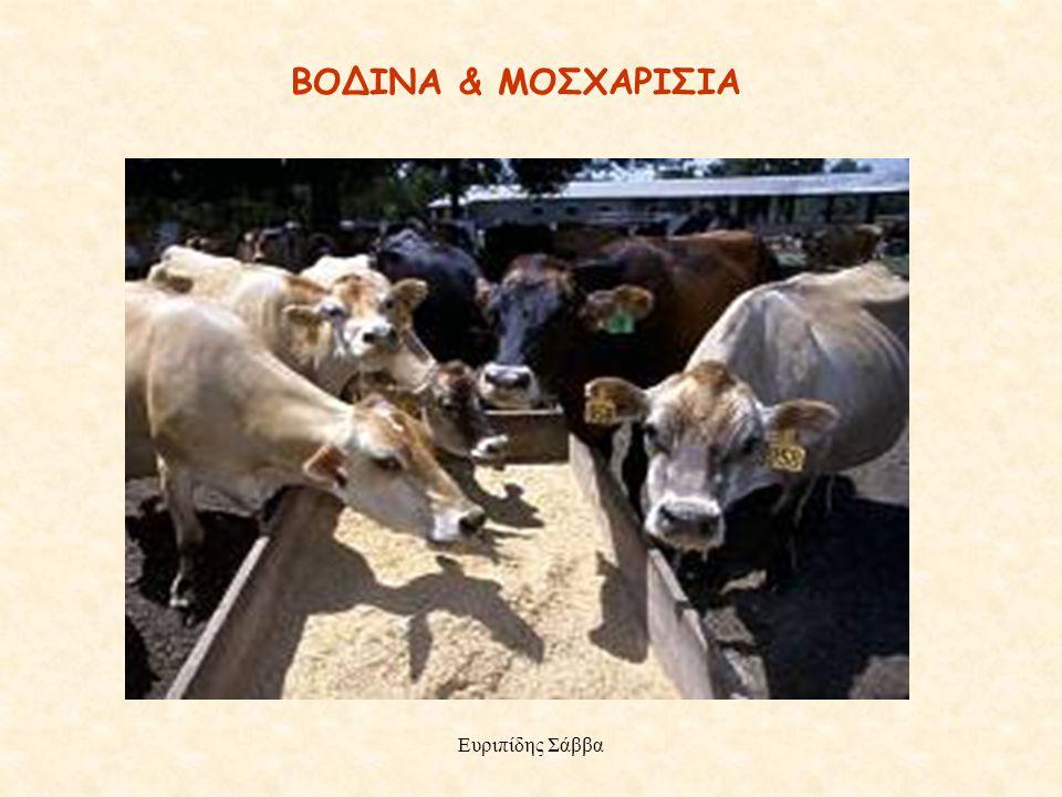 ΒΟΔΙΝΑ & ΜΟΣΧΑΡΙΣΙΑ Ευριπίδης Σάββα Ευριπίδης Σάββα