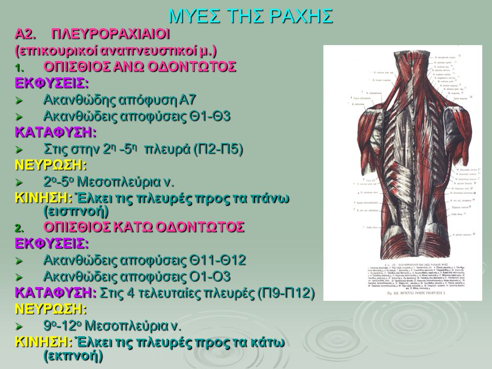 ΜΥΕΣ ΤΗΣ ΡΑΧΗΣ Α2. ΠΛΕΥΡΟΡΑΧΙΑΙΟΙ (επικουρικοί αναπνευστικοί μ.)