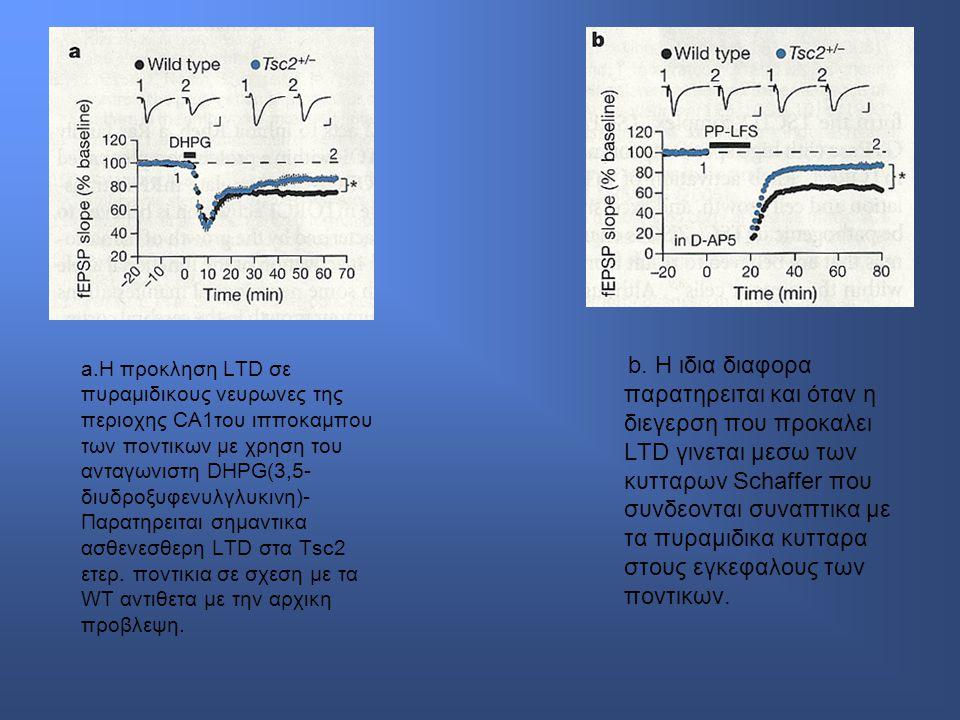 a.Η προκληση LTD σε πυραμιδικους νευρωνες της περιοχης CA1του ιπποκαμπου των ποντικων με χρηση του ανταγωνιστη DHPG(3,5-διυδροξυφενυλγλυκινη)-Παρατηρειται σημαντικα ασθενεσθερη LTD στα Tsc2 ετερ. ποντικια σε σχεση με τα WT αντιθετα με την αρχικη προβλεψη.