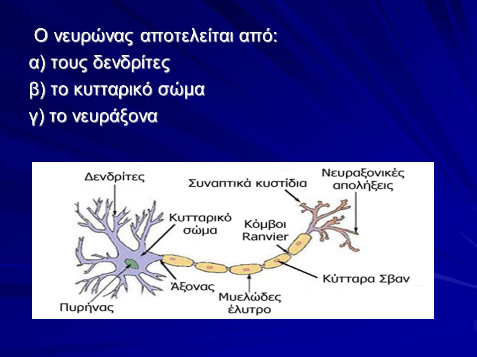 O νευρώνας αποτελείται από: