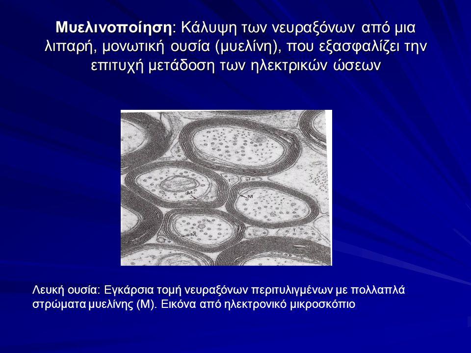 Mυελινοποίηση: Κάλυψη των νευραξόνων από μια λιπαρή, μονωτική ουσία (μυελίνη), που εξασφαλίζει την επιτυχή μετάδοση των ηλεκτρικών ώσεων
