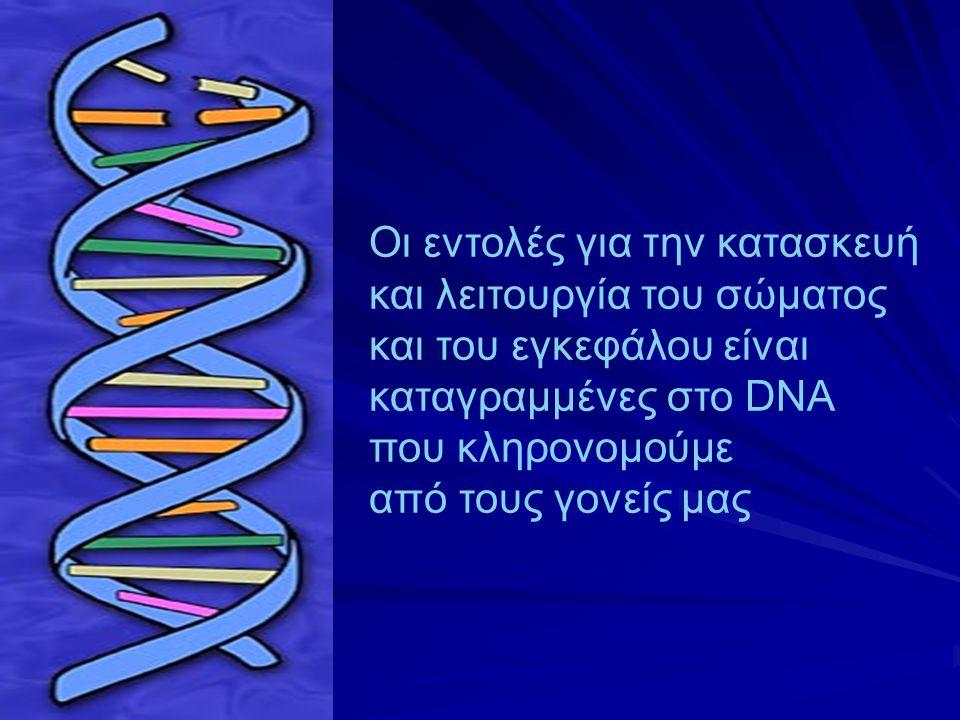 l Οι εντολές για την κατασκευή και λειτουργία του σώματος. και του εγκεφάλου είναι καταγραμμένες στο DNA.