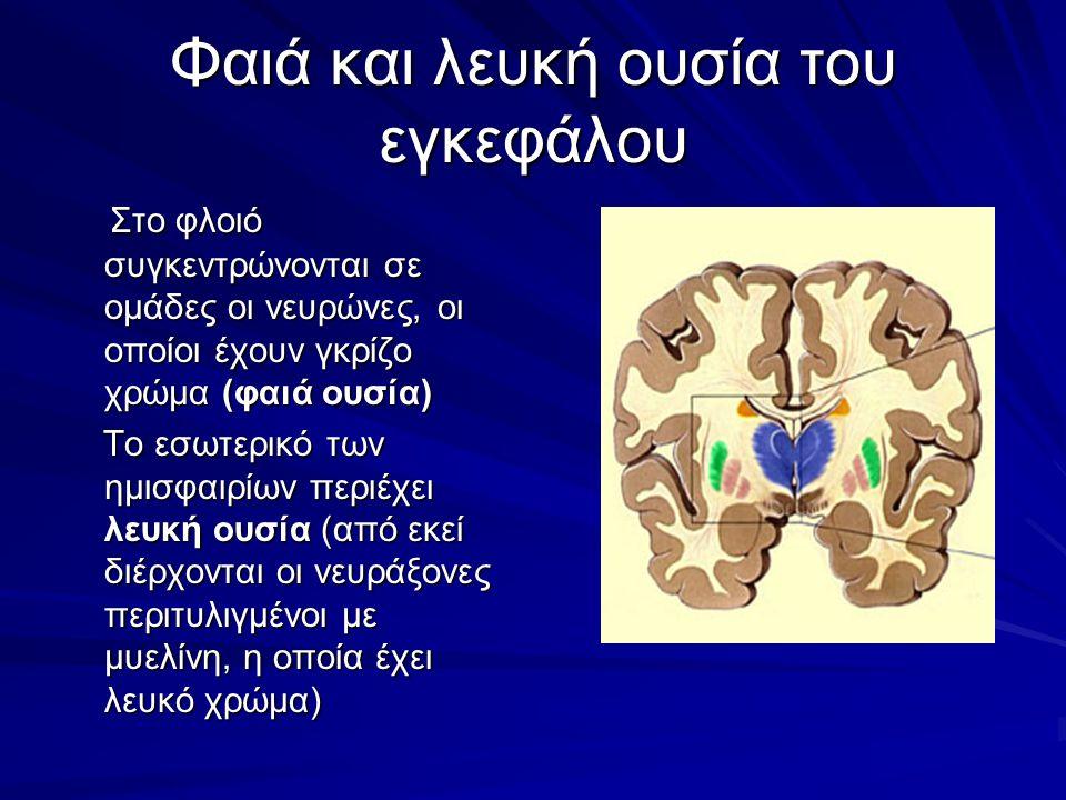 Φαιά και λευκή ουσία του εγκεφάλου