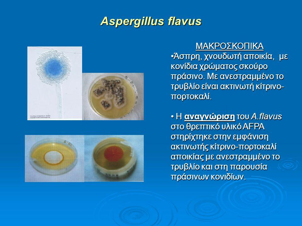Aspergillus flavus ΜΑΚΡΟΣΚΟΠΙΚΑ
