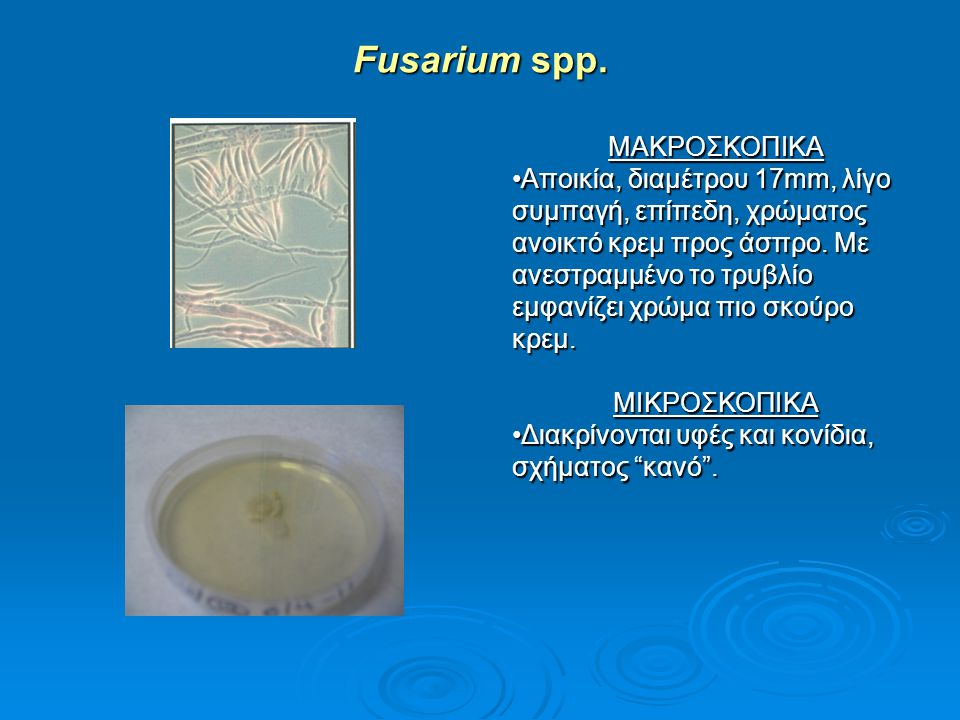 Fusarium spp. ΜΑΚΡΟΣΚΟΠΙΚΑ