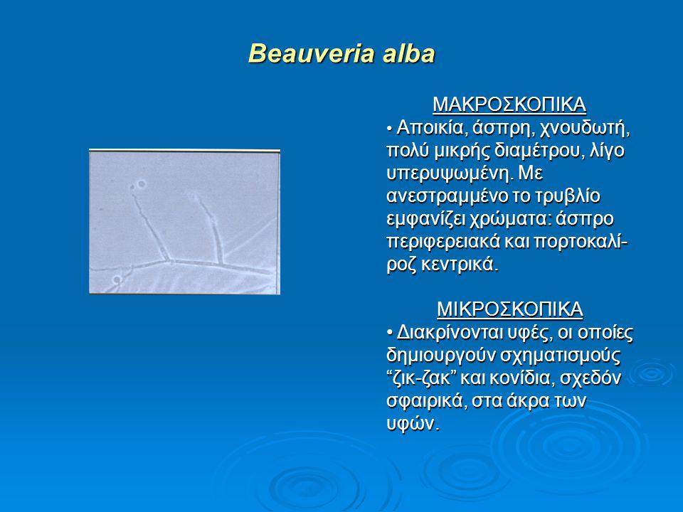 Beauveria alba ΜΑΚΡΟΣΚΟΠΙΚΑ ΜΙΚΡΟΣΚΟΠΙΚΑ