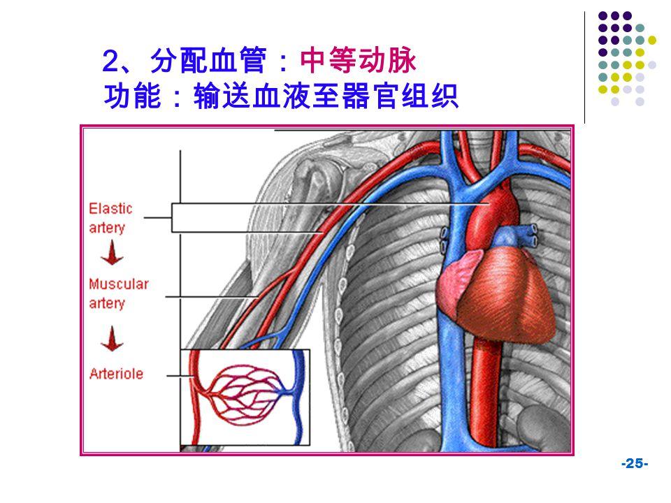 2、分配血管:中等动脉 功能:输送血液至器官组织