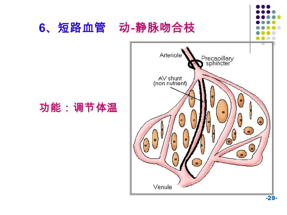 6、短路血管 动-静脉吻合枝 功能:调节体温