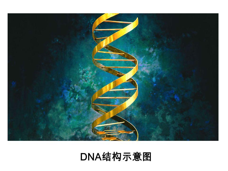 DNA结构示意图
