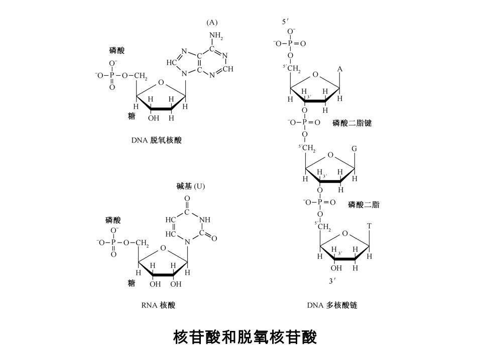 核苷酸和脱氧核苷酸