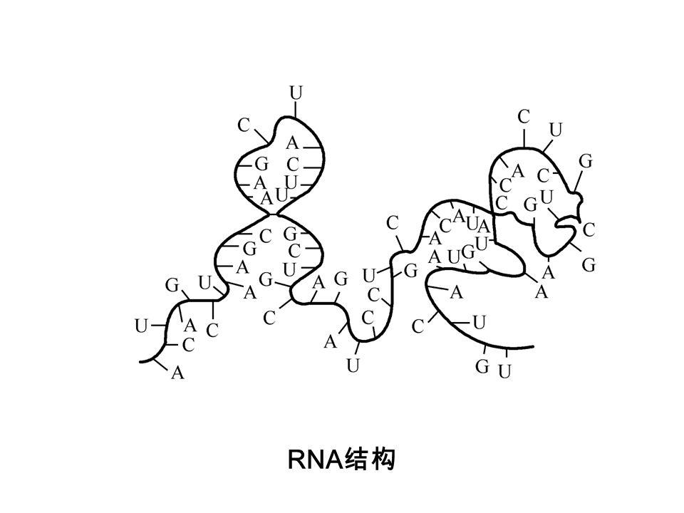 RNA结构