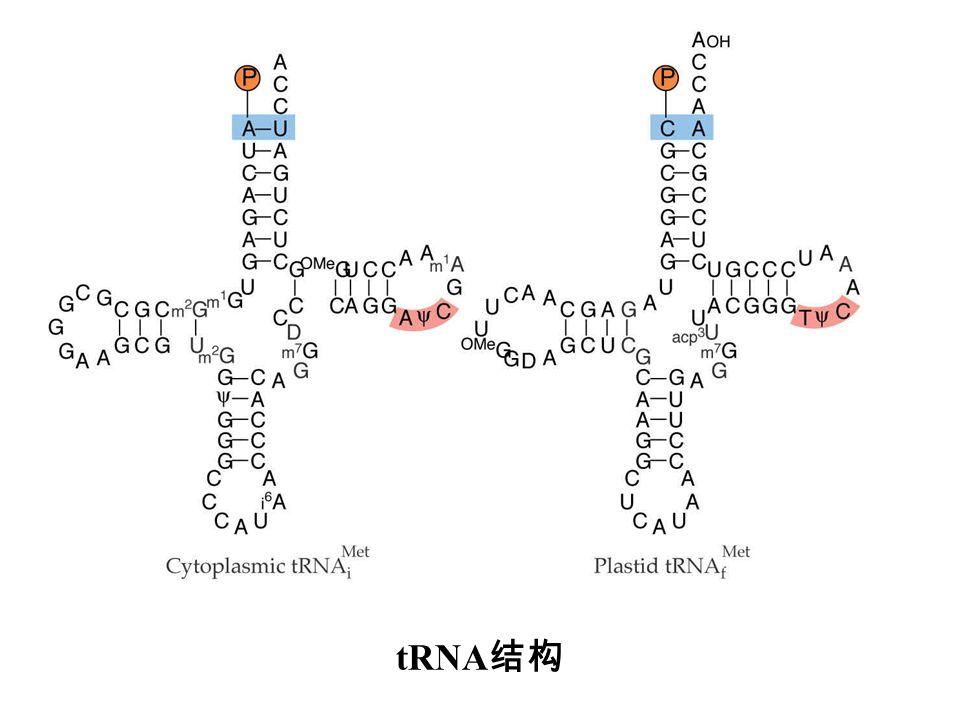 tRNA结构