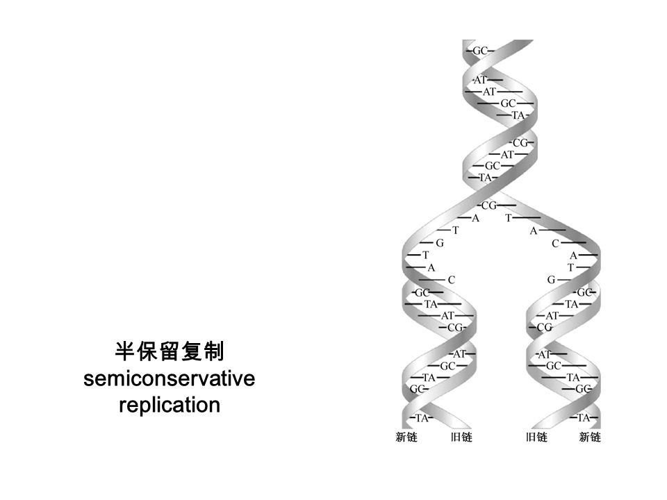半保留复制 semiconservative replication