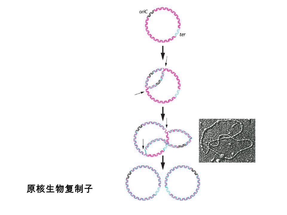 原核生物复制子