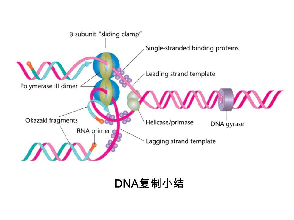 DNA复制小结