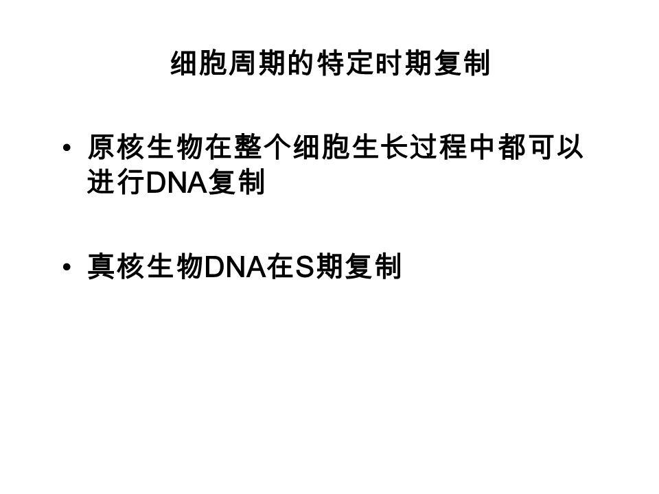 细胞周期的特定时期复制 原核生物在整个细胞生长过程中都可以进行DNA复制 真核生物DNA在S期复制