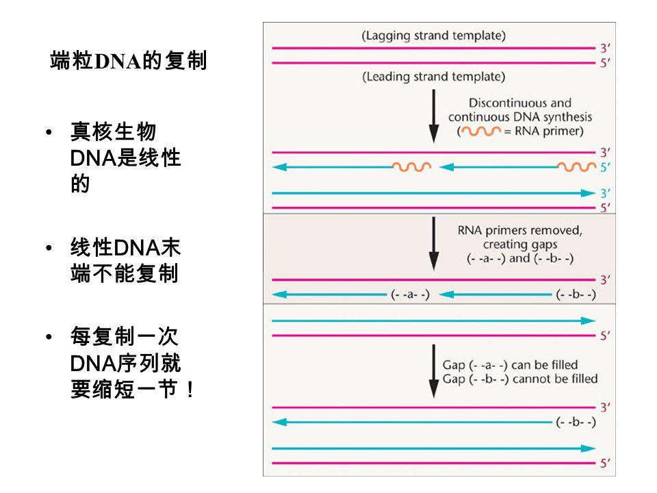 端粒DNA的复制 真核生物DNA是线性的 线性DNA末端不能复制 每复制一次DNA序列就要缩短一节!
