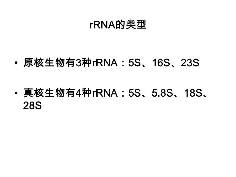 rRNA的类型 原核生物有3种rRNA:5S、16S、23S 真核生物有4种rRNA:5S、5.8S、18S、28S