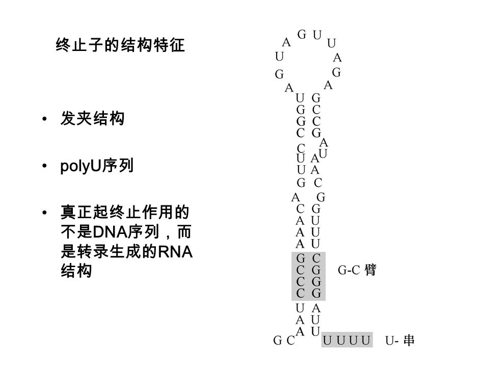终止子的结构特征 发夹结构 polyU序列 真正起终止作用的不是DNA序列,而是转录生成的RNA结构