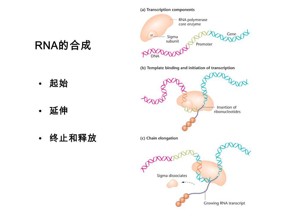 RNA的合成 起始 延伸 终止和释放