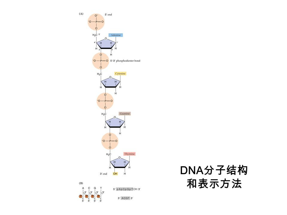DNA分子结构和表示方法