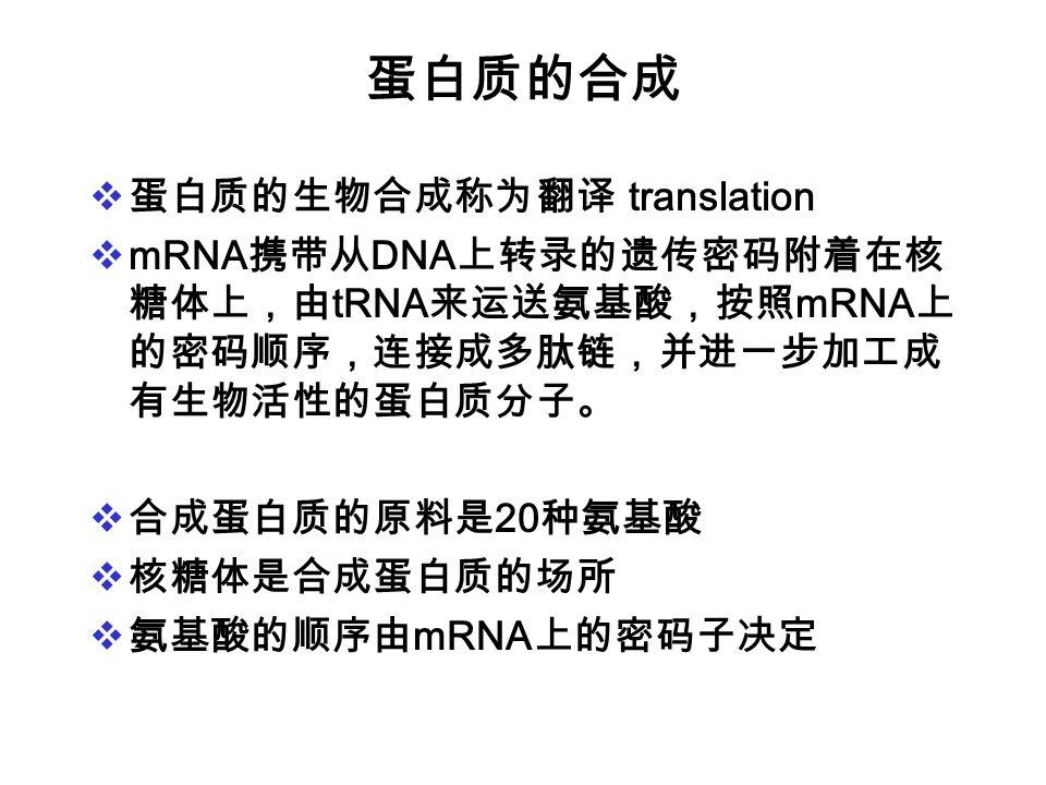 蛋白质的合成 蛋白质的生物合成称为翻译 translation