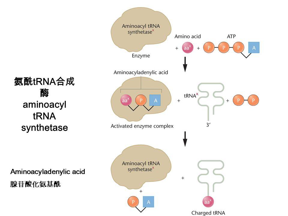 氨酰tRNA合成酶 aminoacyl tRNA synthetase