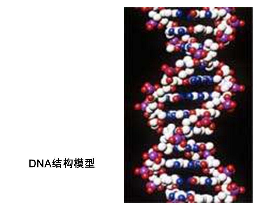 DNA结构模型