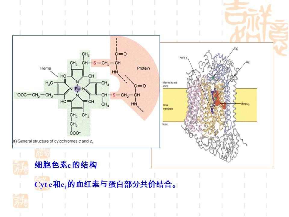 细胞色素c 的结构 Cyt c和c1的血红素与蛋白部分共价结合。