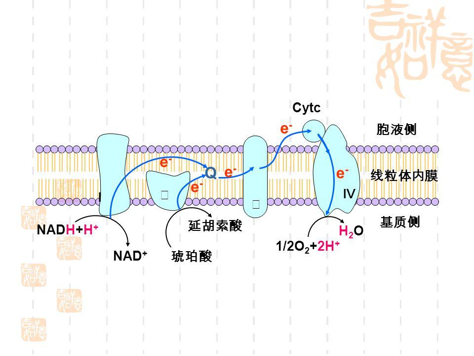 Cytc e- 胞液侧 Ⅲ Q 线粒体内膜 Ⅱ Ⅳ Ⅰ 延胡索酸 琥珀酸 基质侧 NADH+H+ NAD+ 1/2O2+2H+ H2O