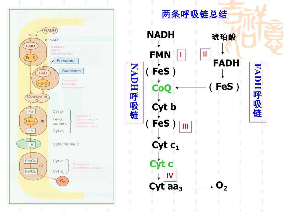 两条呼吸链总结 NADH FMN FADH NADH 呼吸链 FADH 呼吸链 (FeS) CoQ (FeS) Cyt b (FeS)