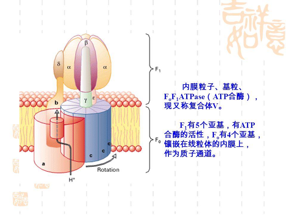 内膜粒子、基粒、 FoF1ATPase(ATP合酶),现又称复合体V。
