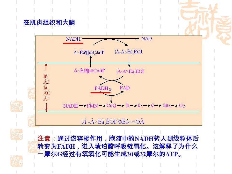 在肌肉组织和大脑 注意:通过该穿梭作用,胞液中的NADH转入到线粒体后 转变为FADH,进入琥珀酸呼吸链氧化。这解释了为什么 一摩尔G经过有氧氧化可能生成30或32摩尔的ATP。