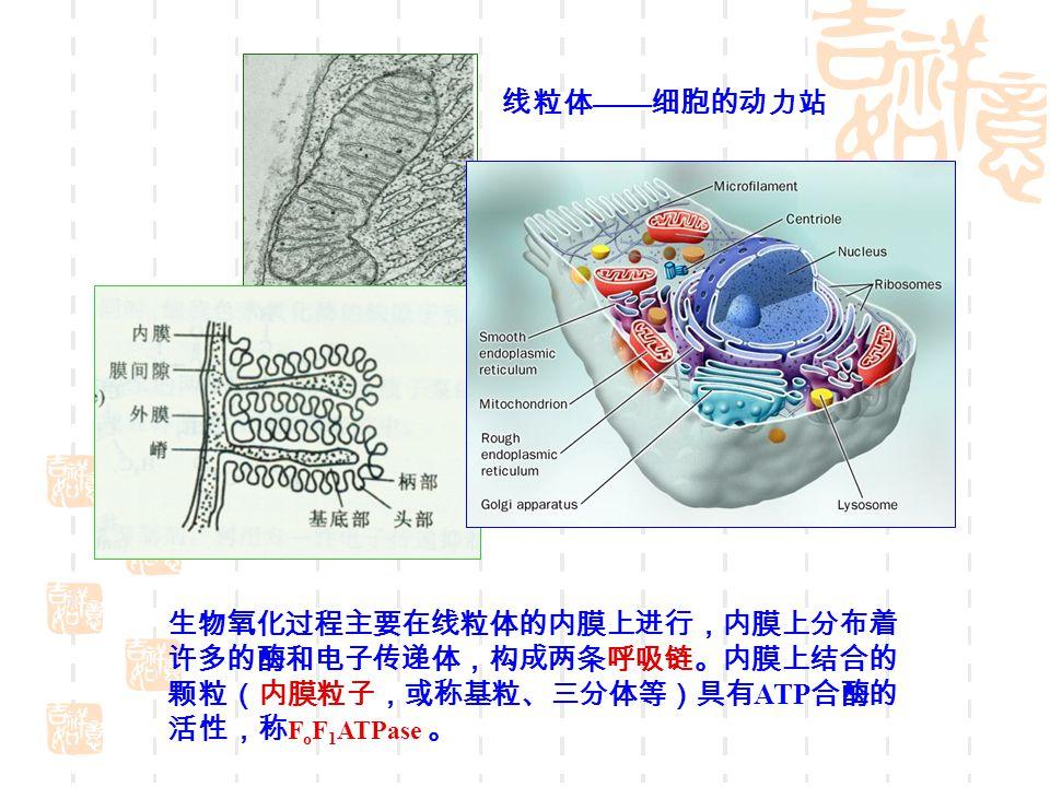 线粒体——细胞的动力站 生物氧化过程主要在线粒体的内膜上进行,内膜上分布着. 许多的酶和电子传递体,构成两条呼吸链。内膜上结合的.