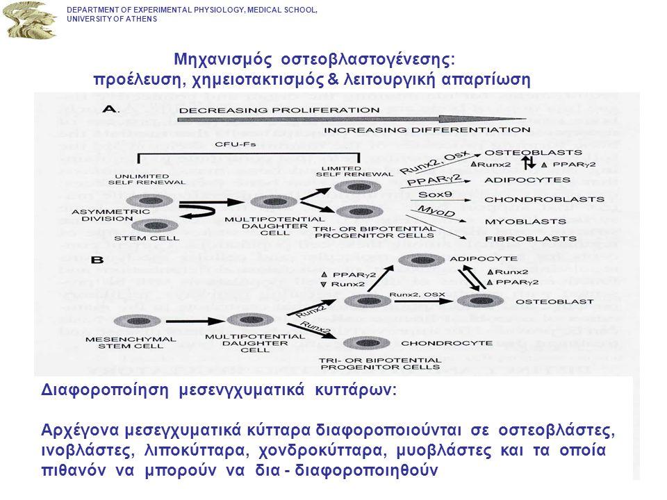 Μηχανισμός οστεοβλαστογένεσης: