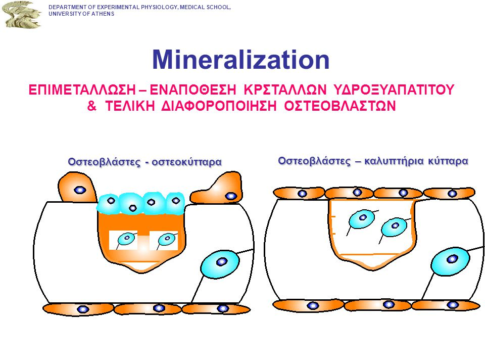 Mineralization ΕΠΙΜΕΤΑΛΛΩΣΗ – ΕΝΑΠΟΘΕΣΗ ΚΡΣΤΑΛΛΩΝ ΥΔΡΟΞΥΑΠΑΤΙΤΟΥ