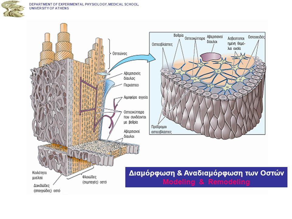 Διαμόρφωση & Αναδιαμόρφωση των Οστών