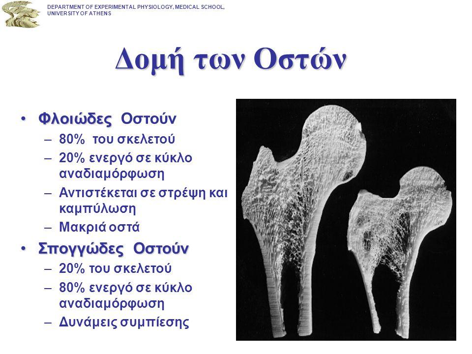 Δομή των Οστών Φλοιώδες Οστούν Σπογγώδες Οστούν 80% του σκελετού