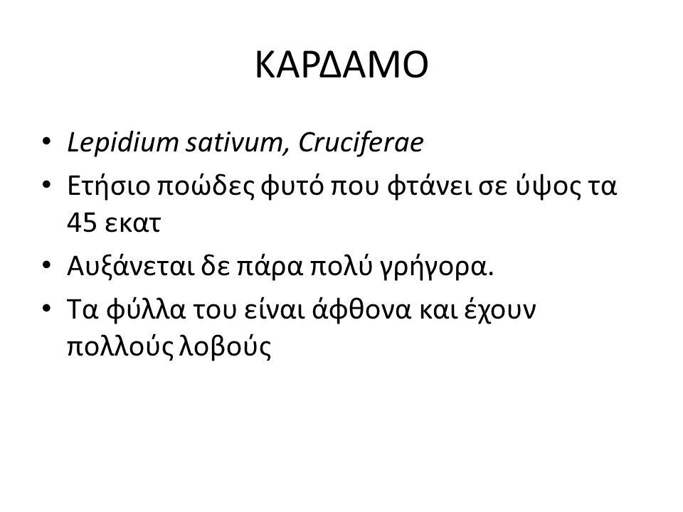 ΚΑΡΔΑΜΟ Lepidium sativum, Cruciferae