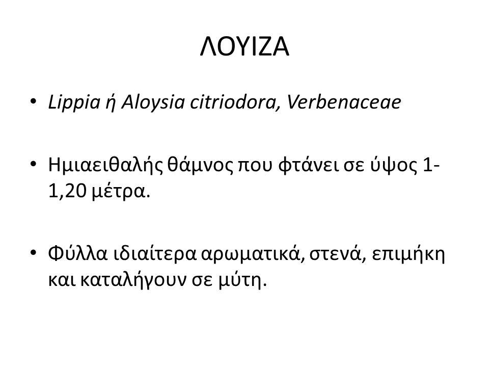 ΛΟΥΙΖΑ Lippia ή Aloysia citriodora, Verbenaceae